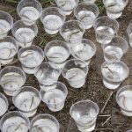 many clear plastic cups with water and small fish